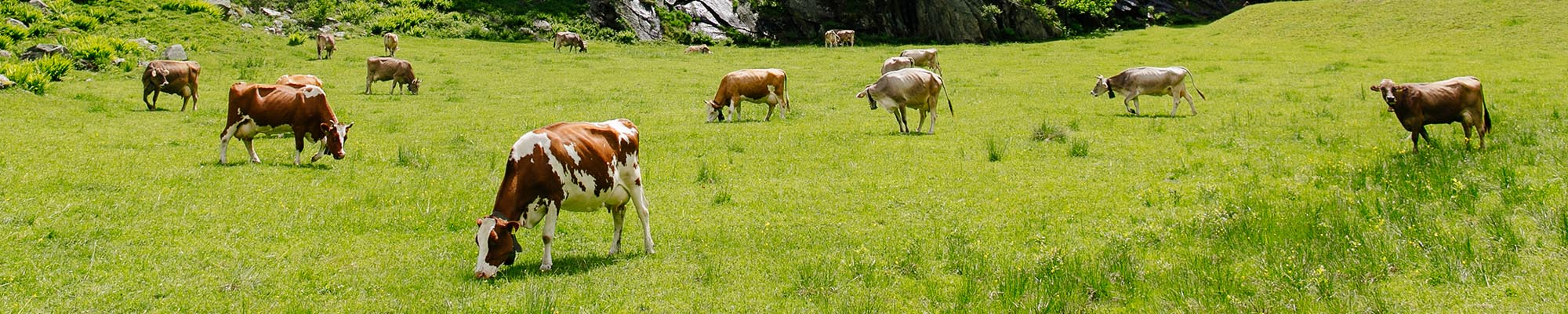 Animaux, vaches libres